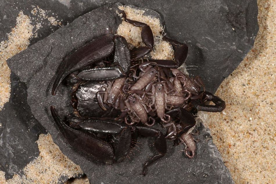 Hadogenes tityrus - female with Instar 1 offspring - South Africa Arachnologie Arachnology Arachnid Photography Skorpion Scorpions Scorpion Hadogenes South Africa Close-up Animal Themes