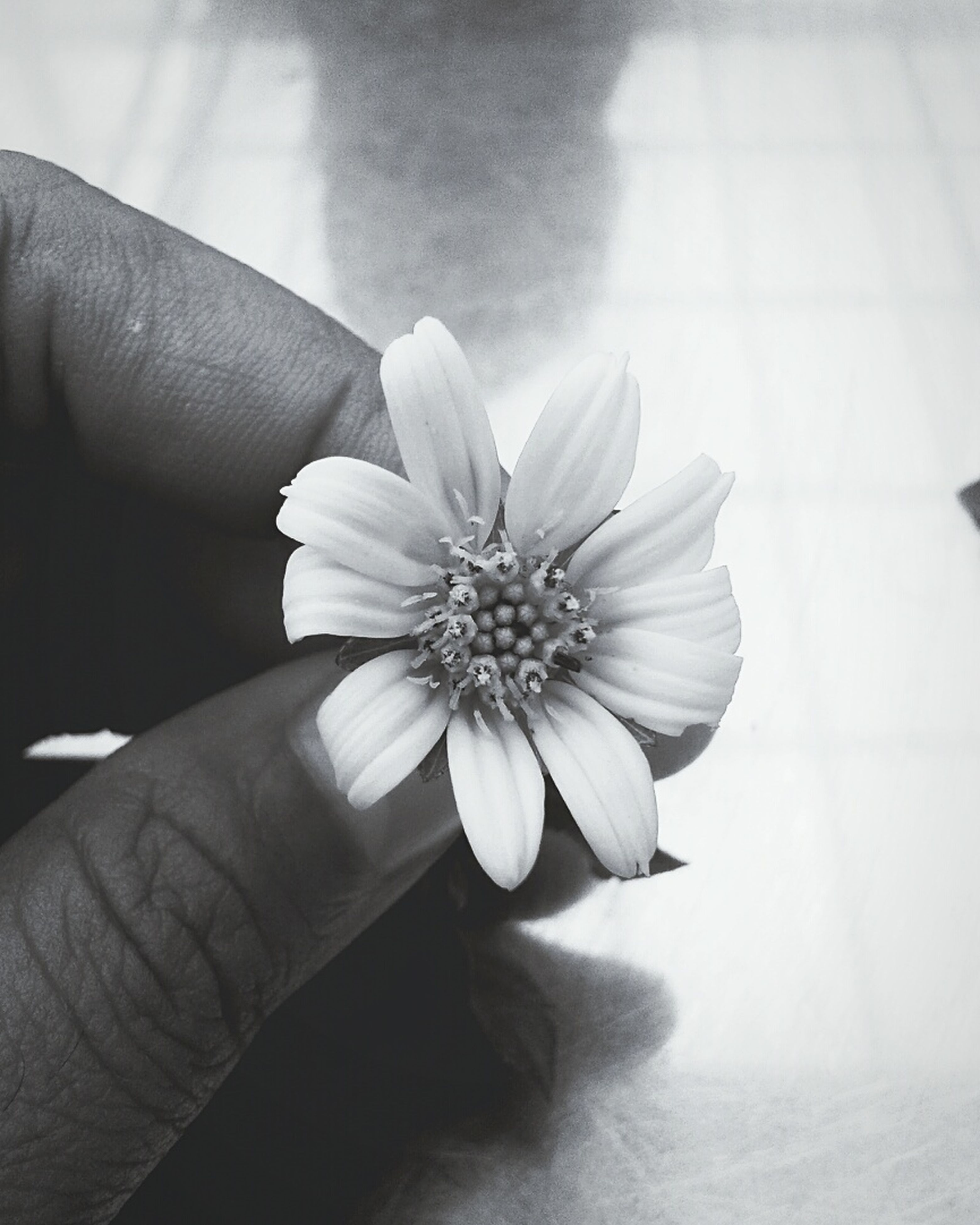 person, flower, holding, petal, part of, freshness, cropped, flower head, human finger, fragility, single flower, personal perspective, unrecognizable person, close-up, indoors, pollen, focus on foreground