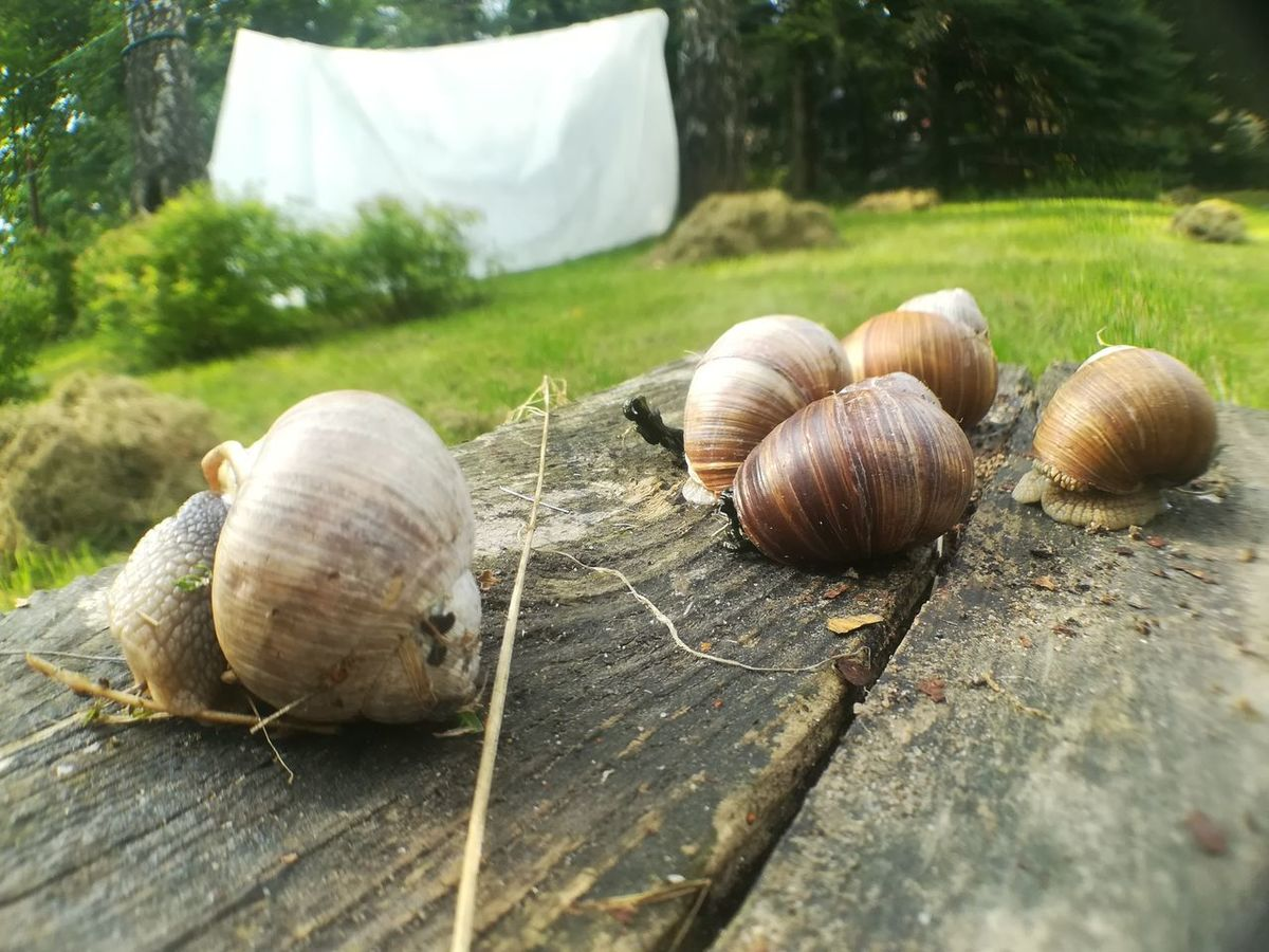 EyeEm Selects Snail Animal Themes Nature Day No People Outdoors Close-up Fragility Beauty In Nature Snail Nature Animals In The Wild Animal Wildlife Group Of Animals Snails Snails In Shells Snail Collection