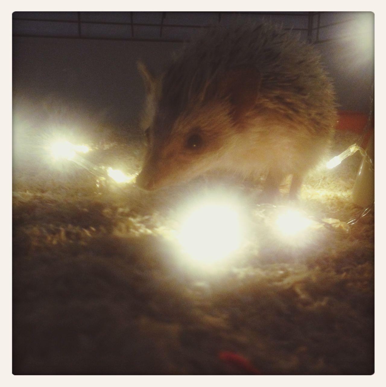 My little Eeek Hedgehog <3