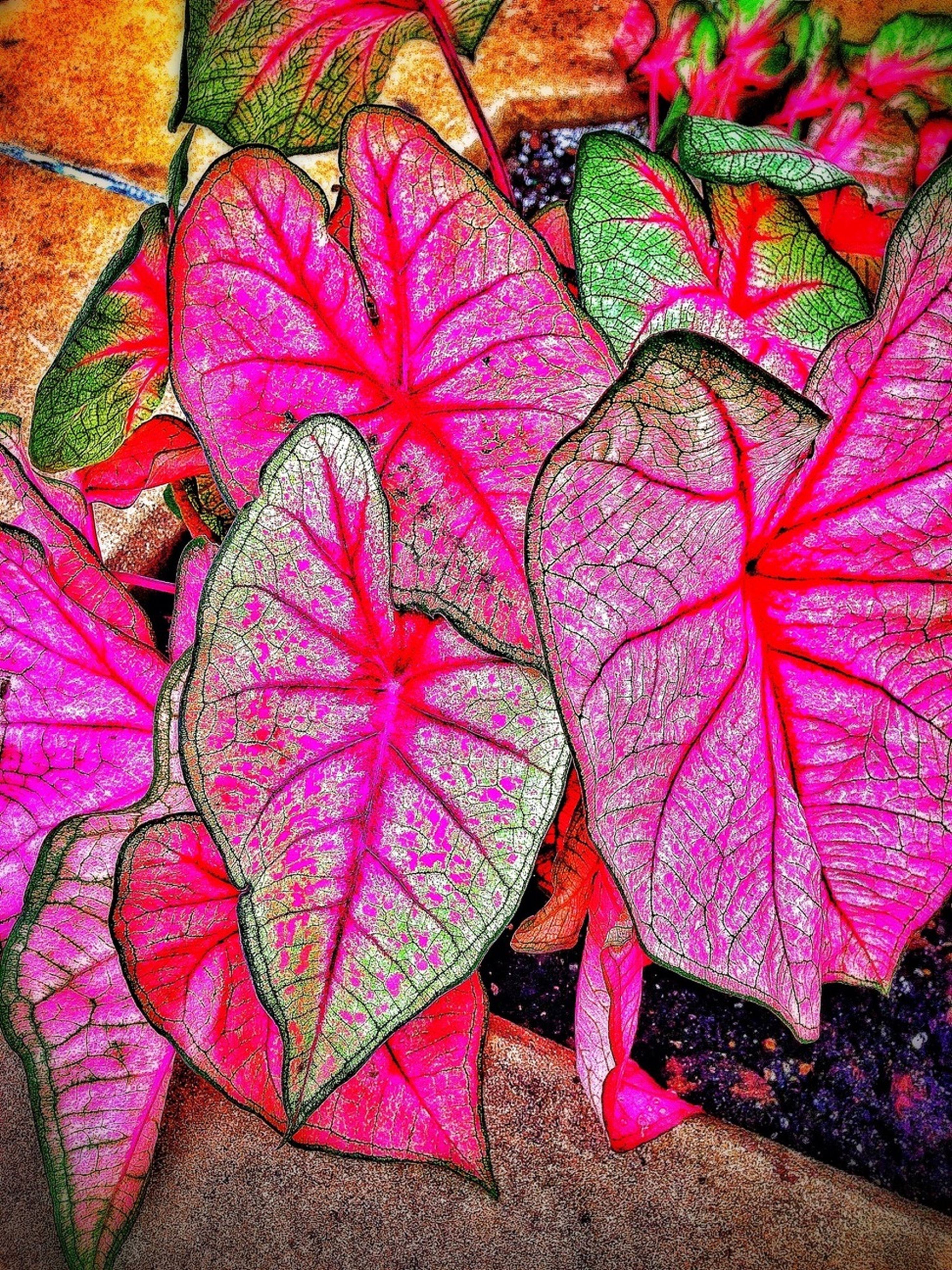 full frame, leaf, backgrounds, multi colored, high angle view, autumn, close-up, change, freshness, pink color, fragility, natural pattern, nature, abundance, no people, season, leaves, red, variation, directly above
