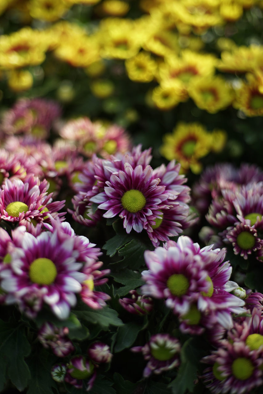 Close-Up Of Purple Chrysanthemum Blooming Outdoors