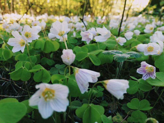 Nature Wood Sorrel Forest Flowers Blooming In Spring HuaweiP9 Mobilephotography Forest Flower Lifeisbeautiful The Great Outdoors - 2016 EyeEm Awards Huawei Nature Photography Flora Oxalis Acetosella Huawei Hello World Check This Out Nature_collection EyeEm Best Shots Natures Diversities