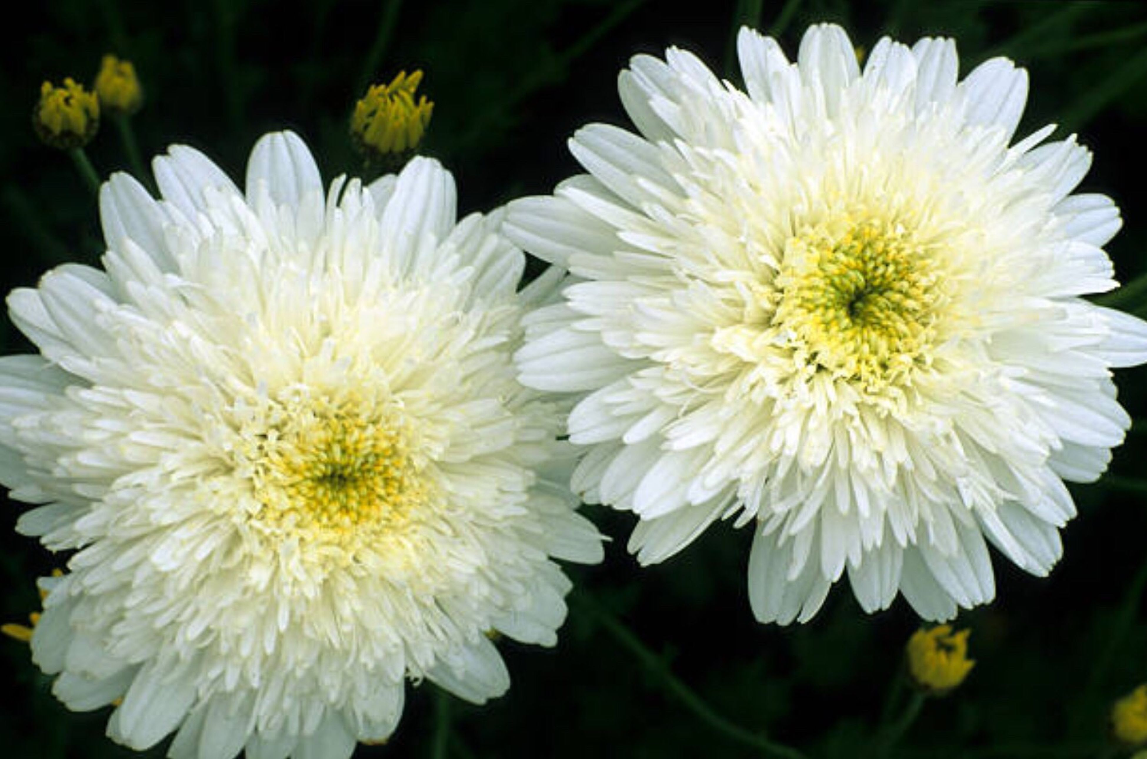 flower, petal, plant, fragility, white color, flower head, nature, no people, beauty in nature, outdoors, freshness, yellow, close-up, day