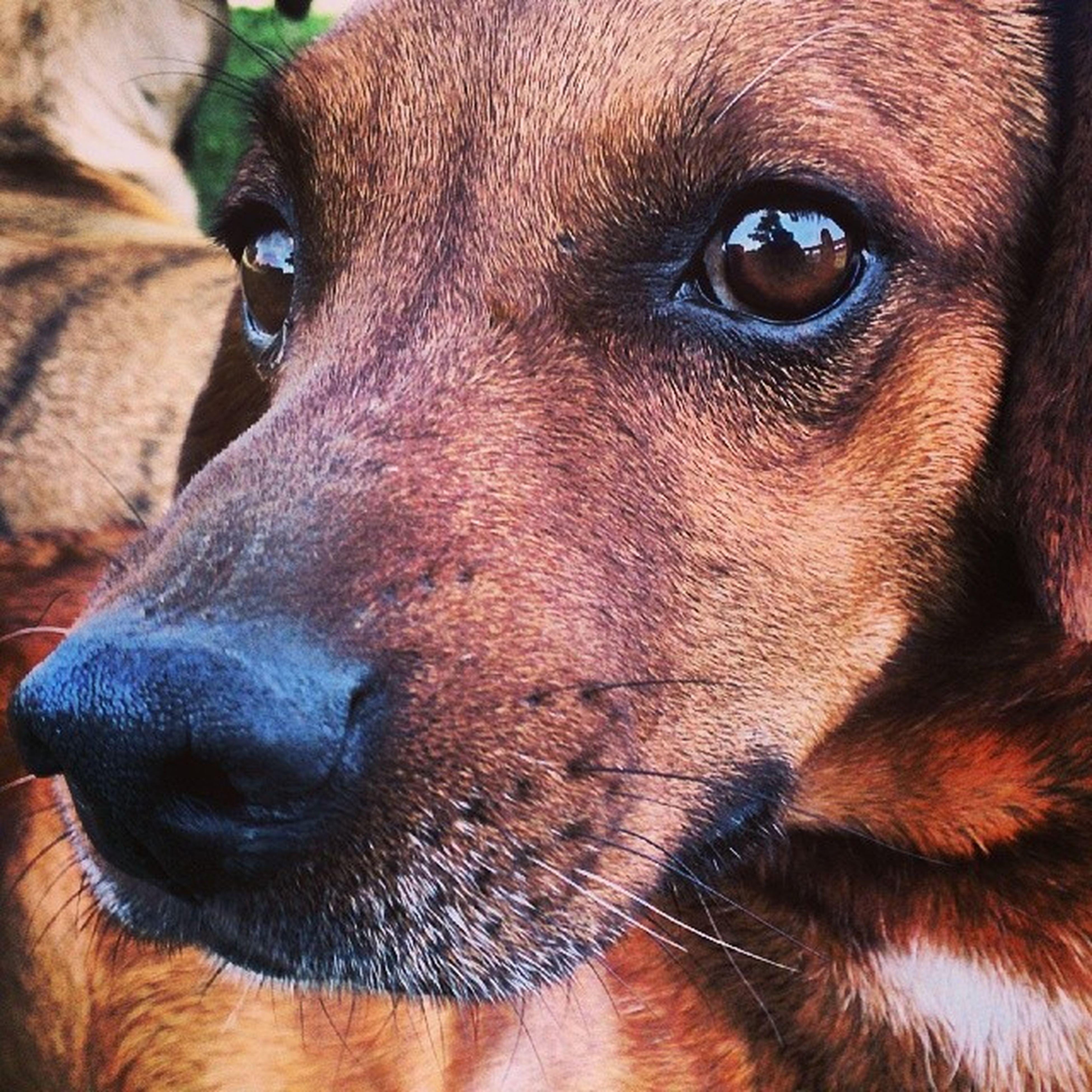 El más mino y más bravo: Cobrizo! Instachile Doglover Dog Park sunday