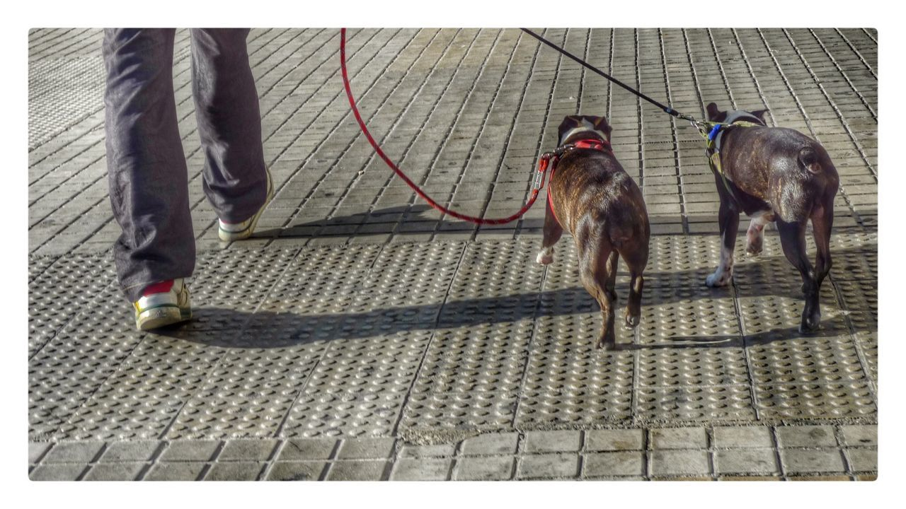 Low Section Of Man Walking With Pit Bull Terrier On Walkway