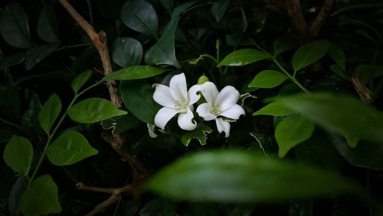 Telosma Cordata Flower Leaf Plant Nature Close-up Botanical Garden Beauty No People Beauty In Nature Day Outdoors Flower Head Freshness