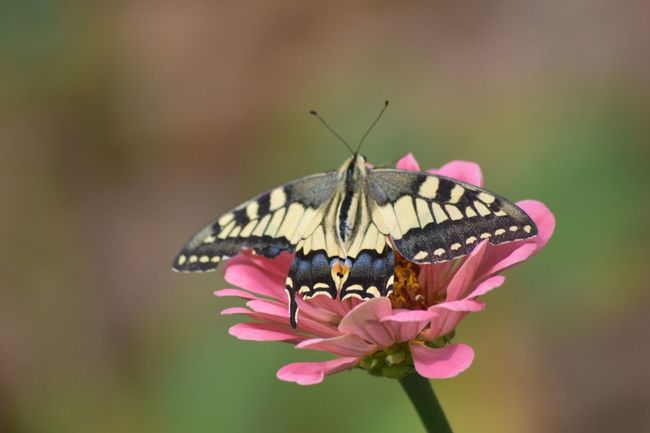Butterfly Animals In The Wild Insect One Animal Animal Themes Flower Wildlife Close-up Fragility Focus On Foreground Beauty In Nature Freshness Nature Pollination Springtime Butterfly - Insect Growth Animal Markings Plant Perching
