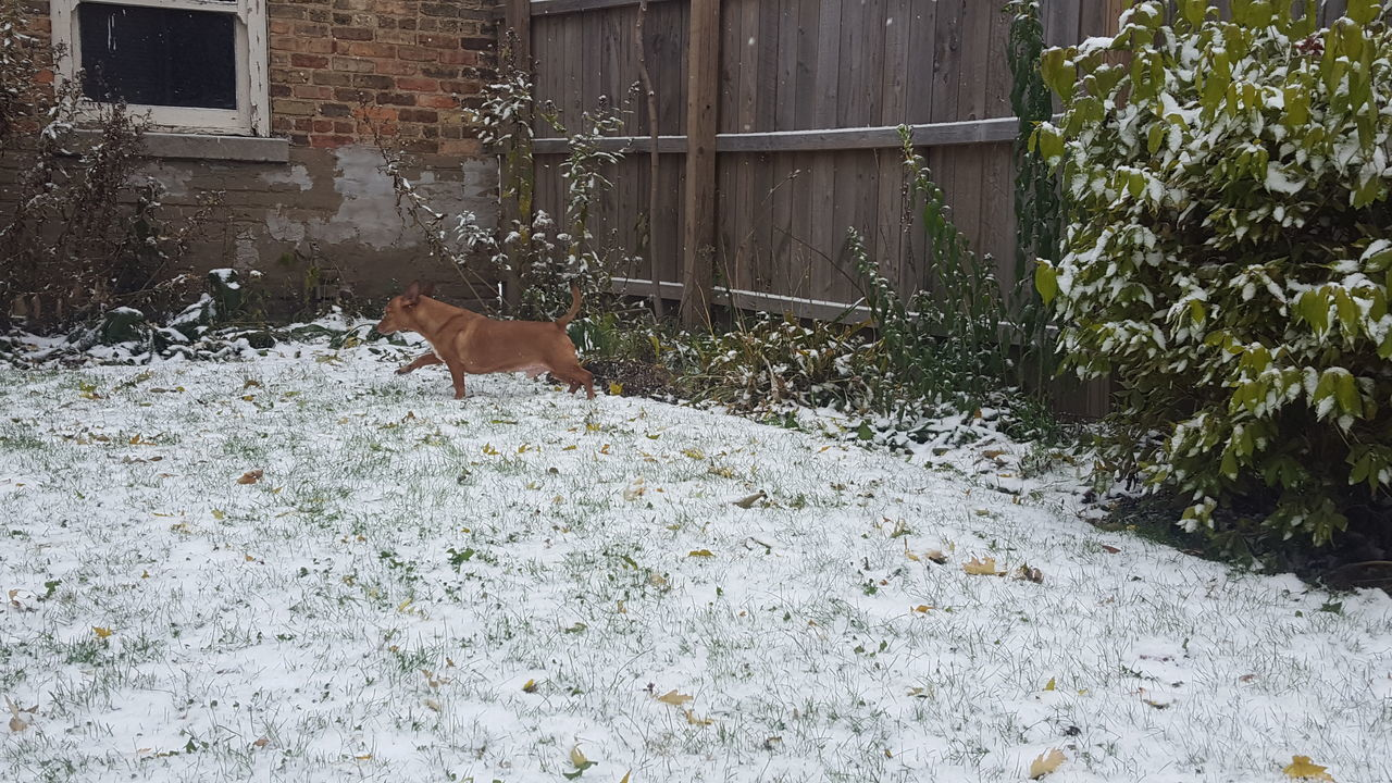 Animal Themes Dog In Backyard Dog In The Snow Domestic Animals First Snowfall No Edit No Filter One Animal Snow Covered