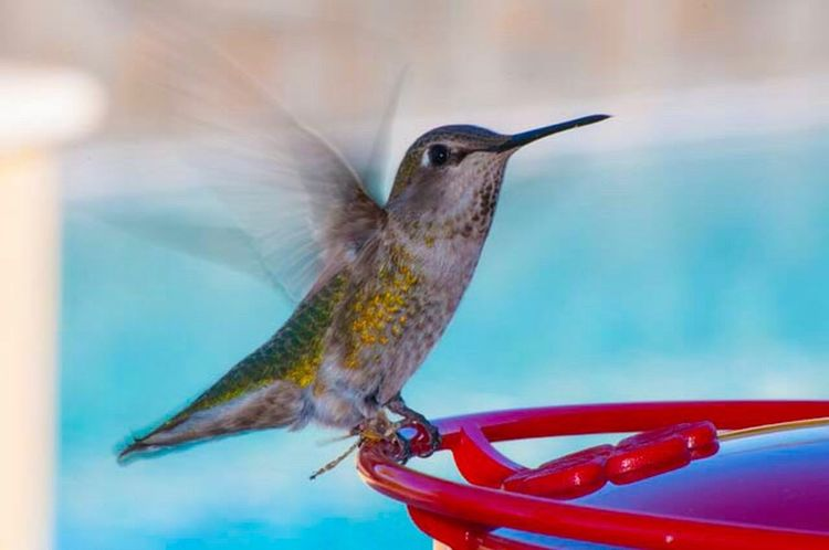 Bird Animal Themes Hummingbird Bird Feeder No People Day Motion Nature Close-up Spread Wings Outdoors