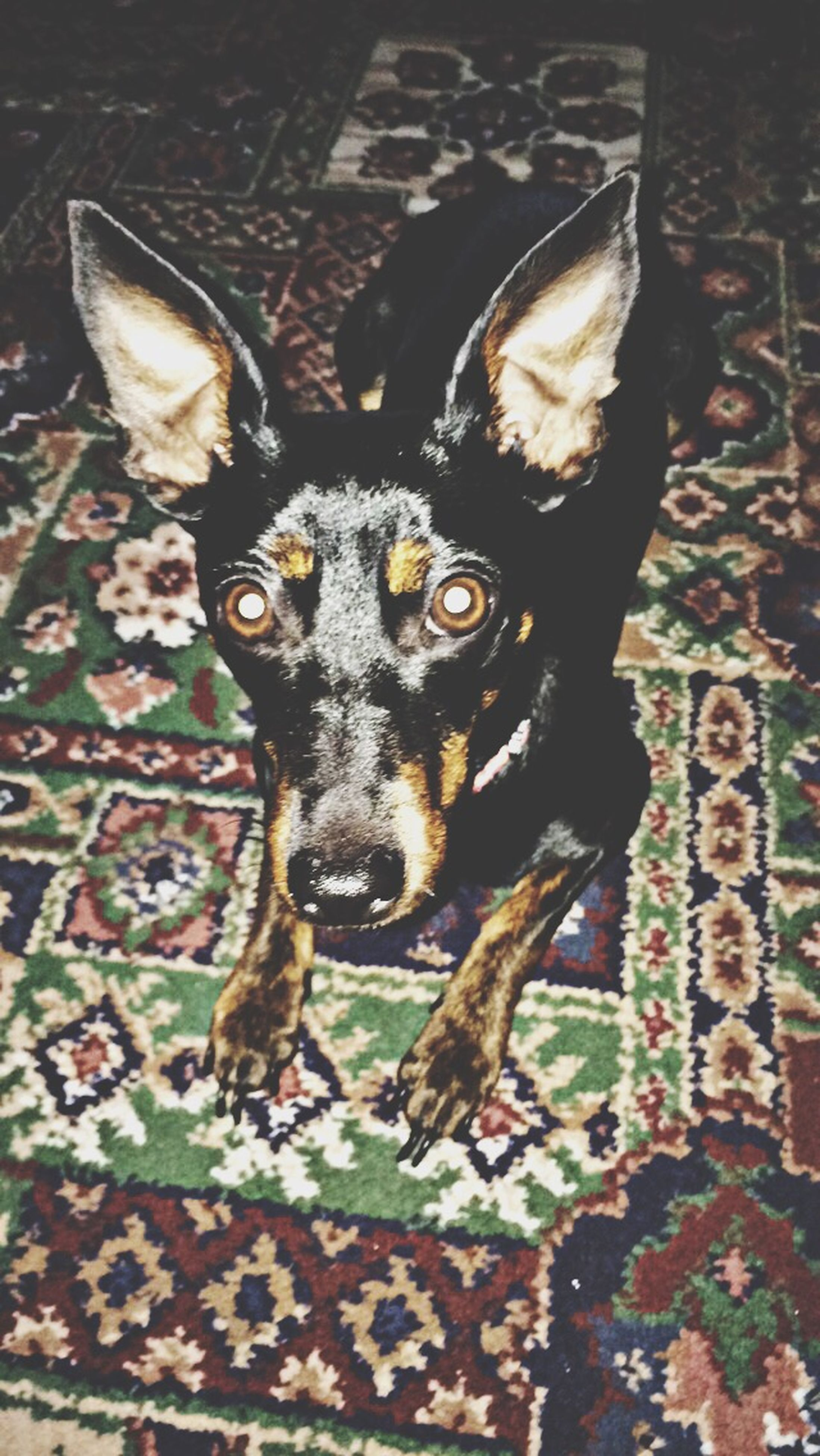 animal themes, one animal, portrait, looking at camera, mammal, pets, domestic animals, indoors, close-up, animal head, dog, black color, high angle view, no people, focus on foreground, animal body part, animal eye, front view, wildlife, young animal