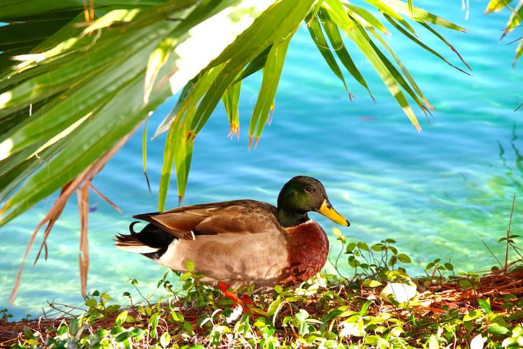 Duck out of Water... Animal Wildlife Animals In The Wild Beautiful Blue Waters Beauty In Nature Bird Bright Colours Duck Day Duck Duck Out Of Water Duck Palace Duck Paradise Lake Lake Eildon Nature No People Orlando Lake Orlando Wildl Outdoors Plant Water