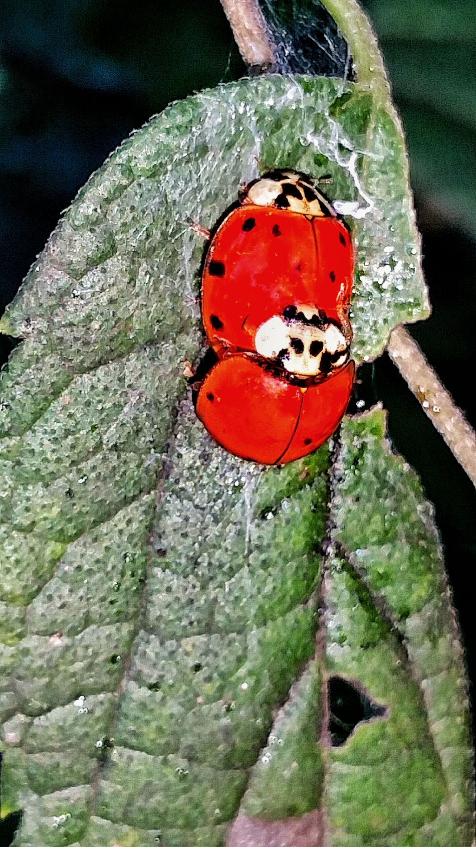 Lady Bugs Red Making Babies Mating Pair Love Two Of A Kind Close-up Vibrant Color Insects  Bugs Bugs Life Breeding Natures Diversities Beauty In Nature Diversities Of Nature Love Bugs Bugs In Love Outdoors