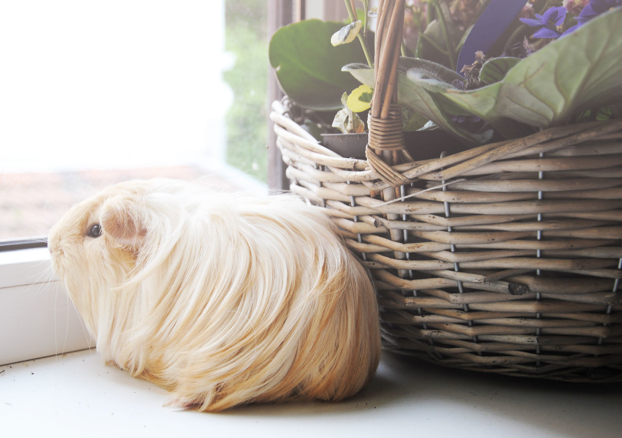 Beautiful stock photos of guinea-pigs, Animal Hair, Animal Themes, Basket, Close-Up