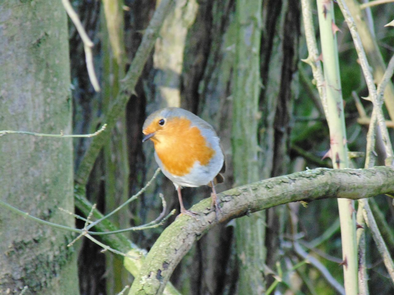Robin Redbreast One Animal Bird Animal Themes Perching Focus On Foreground Animals In The Wild Nature Robin Tree Branch Animal Wildlife Day No People Outdoors Beauty In Nature Kingfisher