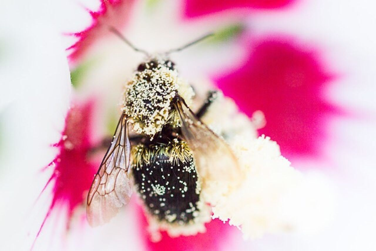Between March 2015 and April 2016 the United States lost 44% of its bee colonies. This is a very dire situation because without a large healthy bee population most of the foods we rely on will disappear. Pesticides Kill Bees Save Bees And Butterflies Buzz Off Bees And Flowers Bees We Need Bees Canonphotography Canon 7D Showcase:July EyeEm Best Shots - Nature Macro Photography This Week On Eyeem Nature Photography EyeEm Best Shots Insects  Collecting Pollen