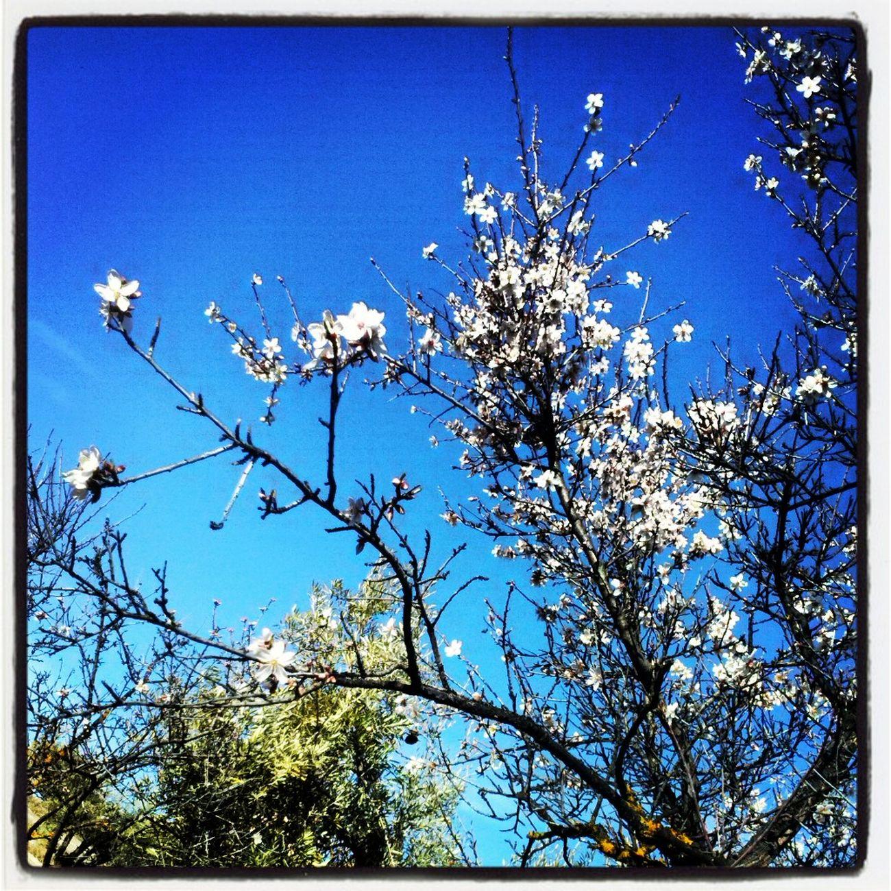 almendro en flor en un sitio privilegiado