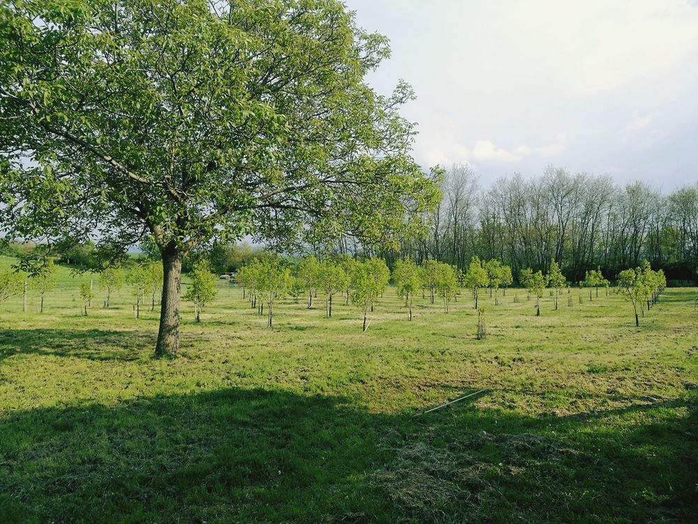 Orchards Tree Grass Field Green Color Agriculture Beauty In Nature Date-plum Kakiplum Tree Area Kaki Fruit