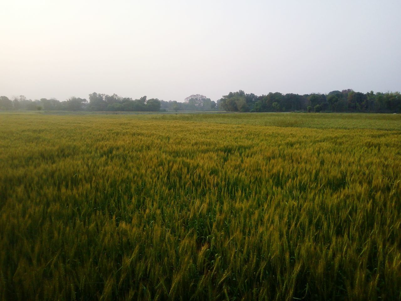 Nature Landscape Beauty In Nature Tranquil Scene No People Scenics Sunset Sky Tree Outdoors Day Beauty In Nature Nature Green Color Field Growth Wheat Field