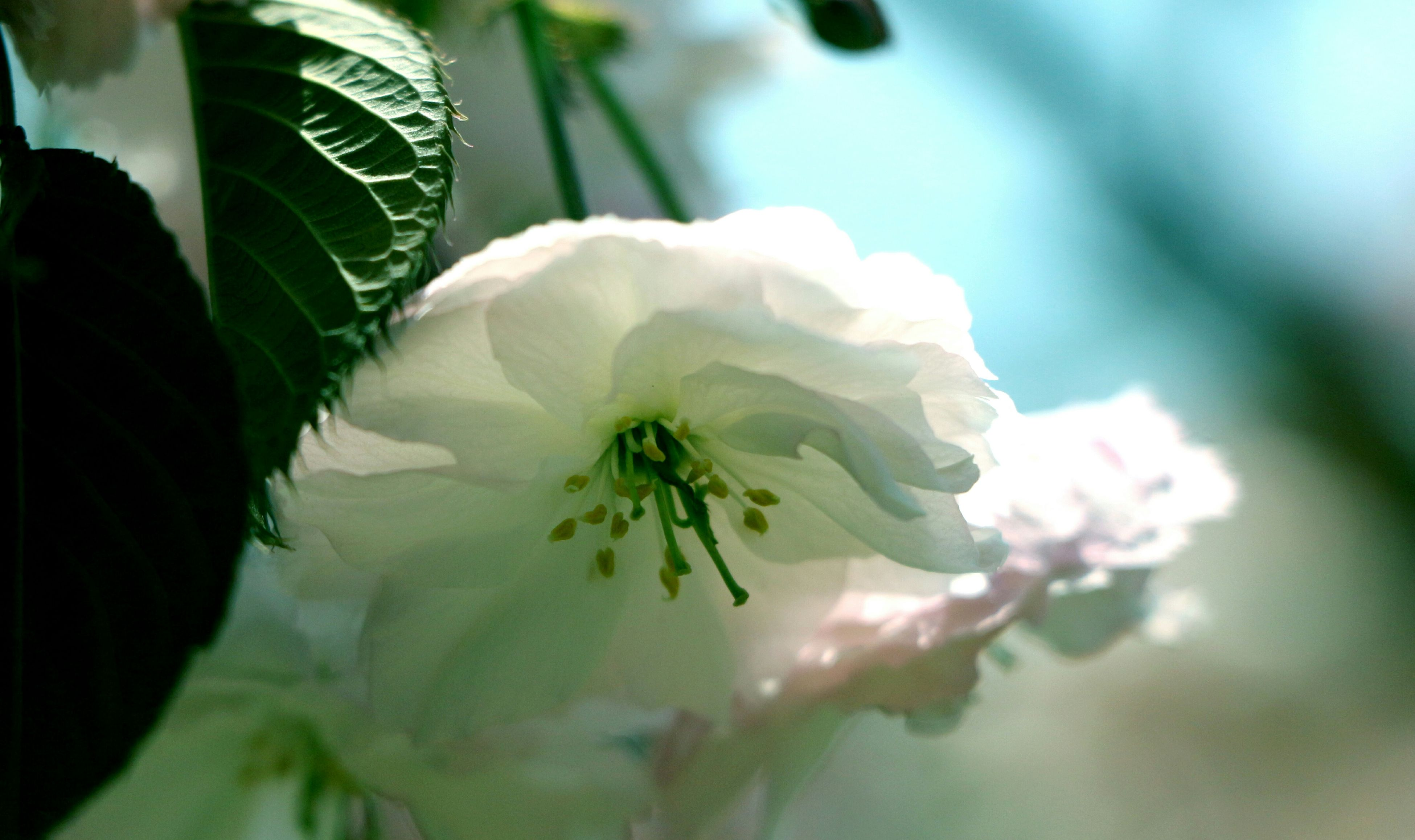 flower, growth, freshness, fragility, petal, close-up, beauty in nature, flower head, focus on foreground, white color, nature, plant, leaf, blooming, selective focus, blossom, in bloom, bud, botany, single flower