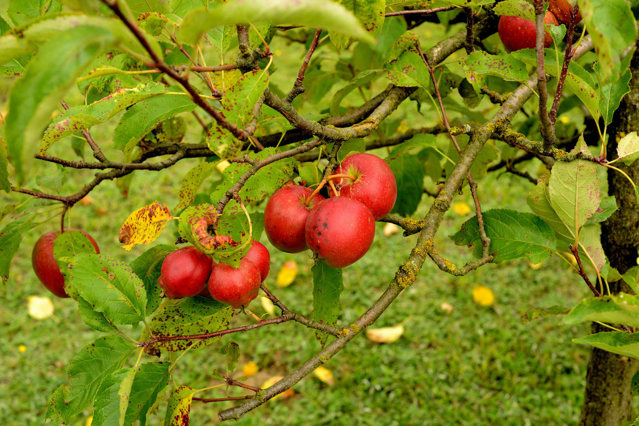 High Angle View Of Apples Growing Outdoors