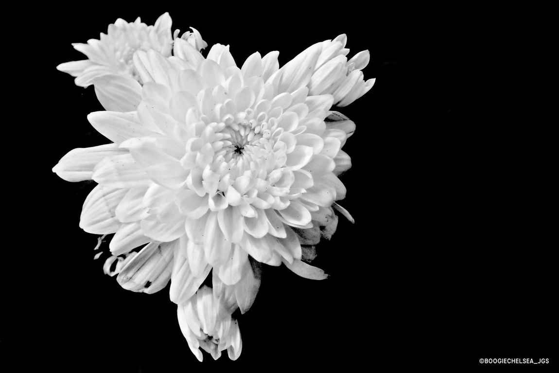 """""""Pure White Bloom"""" Beauty In Nature Black Background Blackandwhite Blackandwhitephotography Blooming Bnw_captures Bnw_collection Bnw_life Bnw_planet Bnw_society Bnw_worldwide Bnwphotography Close-up Floral Flower Flower Head Freshness Fujifilm Fujiholics Growth Myfujifilm Nature Naturephotography Outdoors Petal"""