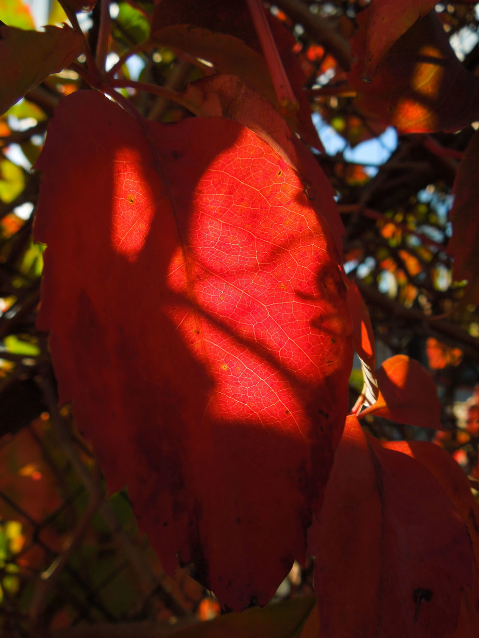 red, growth, tree, beauty in nature, nature, day, no people, outdoors, close-up, leaf, freshness, plant, hibiscus, flower head