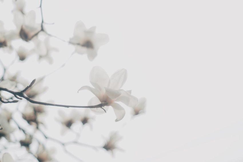 Magnolia Flower Flowers Flower Magnolia_Blossom Spring Flowers Magnolia