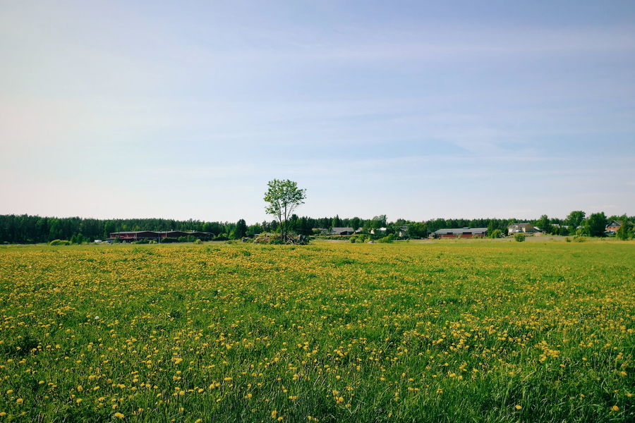 A field of dandelions Taraxacum Officinale Dandelion Taking Photos Check This Out Vscocam Mobilephotography Nature_collection Plants And Flowers HuaweiP9 Scenery Shots Field Of Flowers Field Of Gold Natures Diversities Essence Of Summer