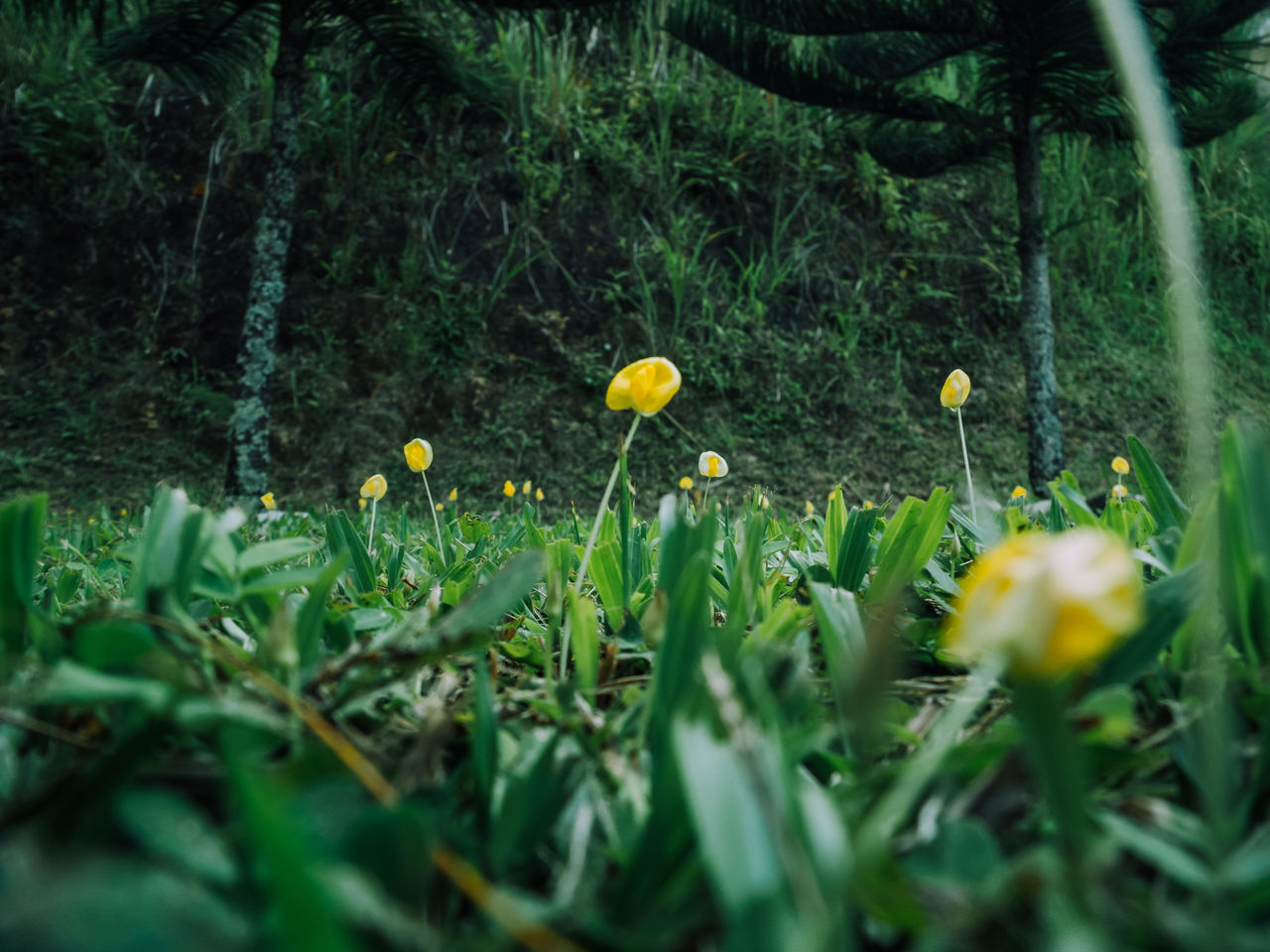 growth, flower, nature, yellow, plant, flora, field, spring, beauty in nature, outdoors, no people, freshness, blooming, crocus, day