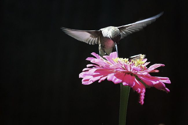 Hummingbird Zinnia  Hummingbirds Flowers Nature Nature_collection Nature Photography