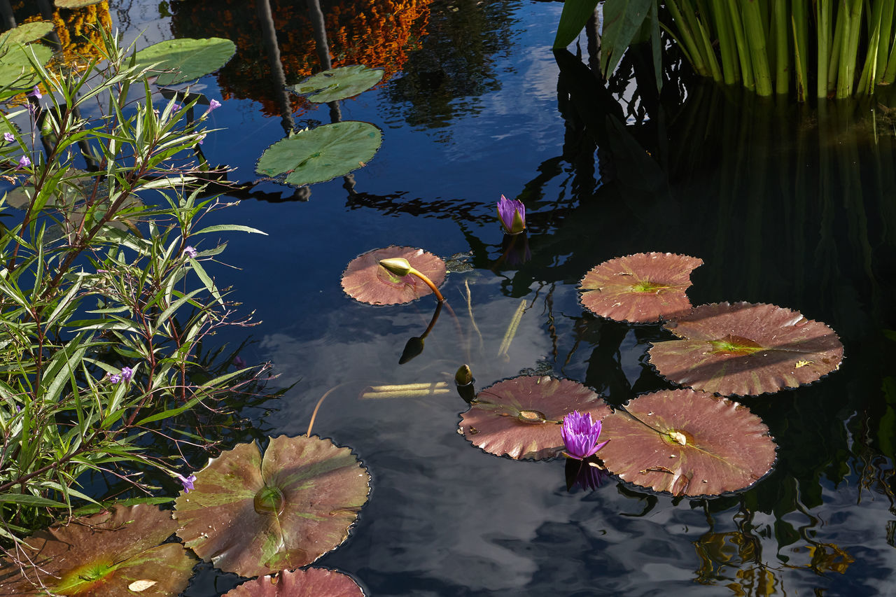 leaf, water, pond, floating on water, water lily, lily pad, nature, growth, lotus water lily, plant, beauty in nature, waterfront, outdoors, reflection, no people, day, floating, high angle view, flower, lotus, water plant, tranquility, fragility, freshness, close-up, flower head