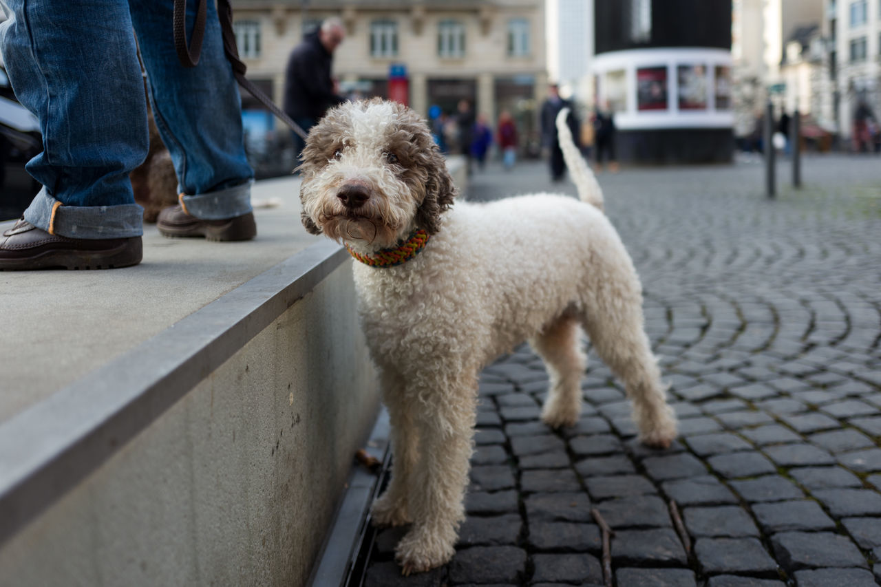 Dog at demonstration in Frankfurt Animal Themes Day Dog Domestic Animals Human Body Part Low Section Mammal One Animal One Person Outdoors People Pets Poodle Portrait Real People