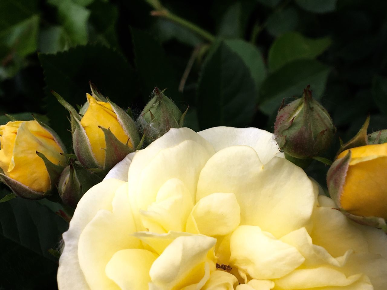 Flower Freshness Petal Flower Head Fragility Nature Beauty In Nature No People Close-up Growth Plant Yellow Day Outdoors Yellow Rose Roses🌹