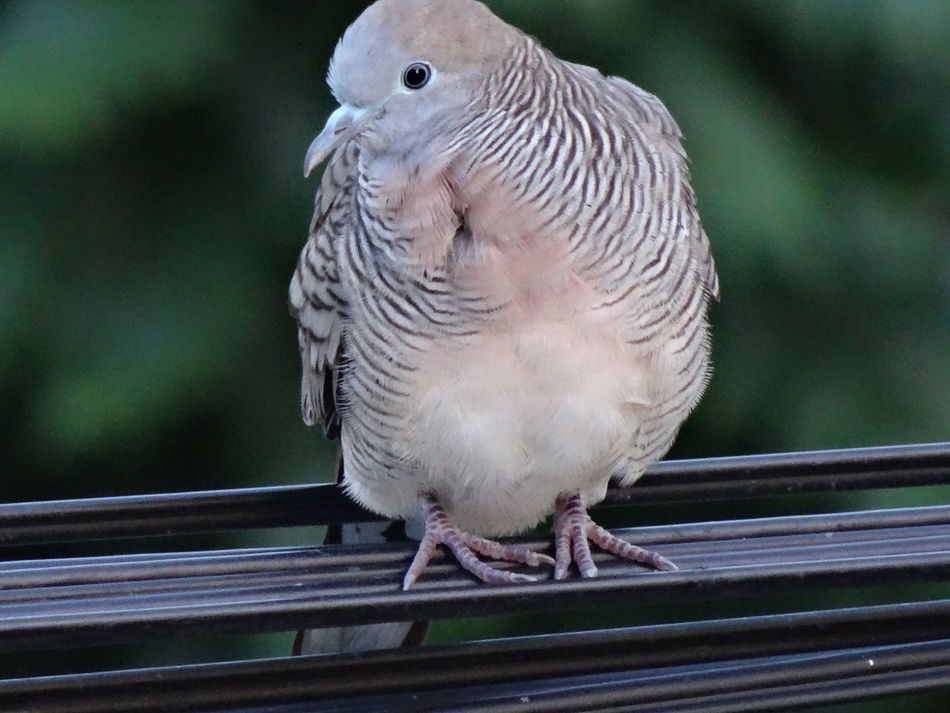 Animal Themes Animal Wildlife Animals In The Wild Bird Close-up Day Mourning Dove No People One Animal Outdoors Perching นก