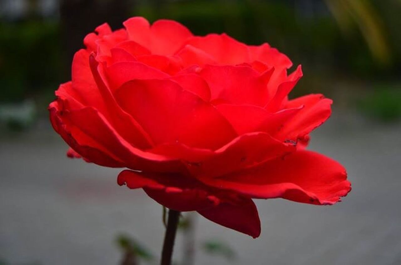 flower, petal, red, nature, beauty in nature, flower head, fragility, focus on foreground, close-up, outdoors, plant, growth, no people, day, peony, freshness, blooming