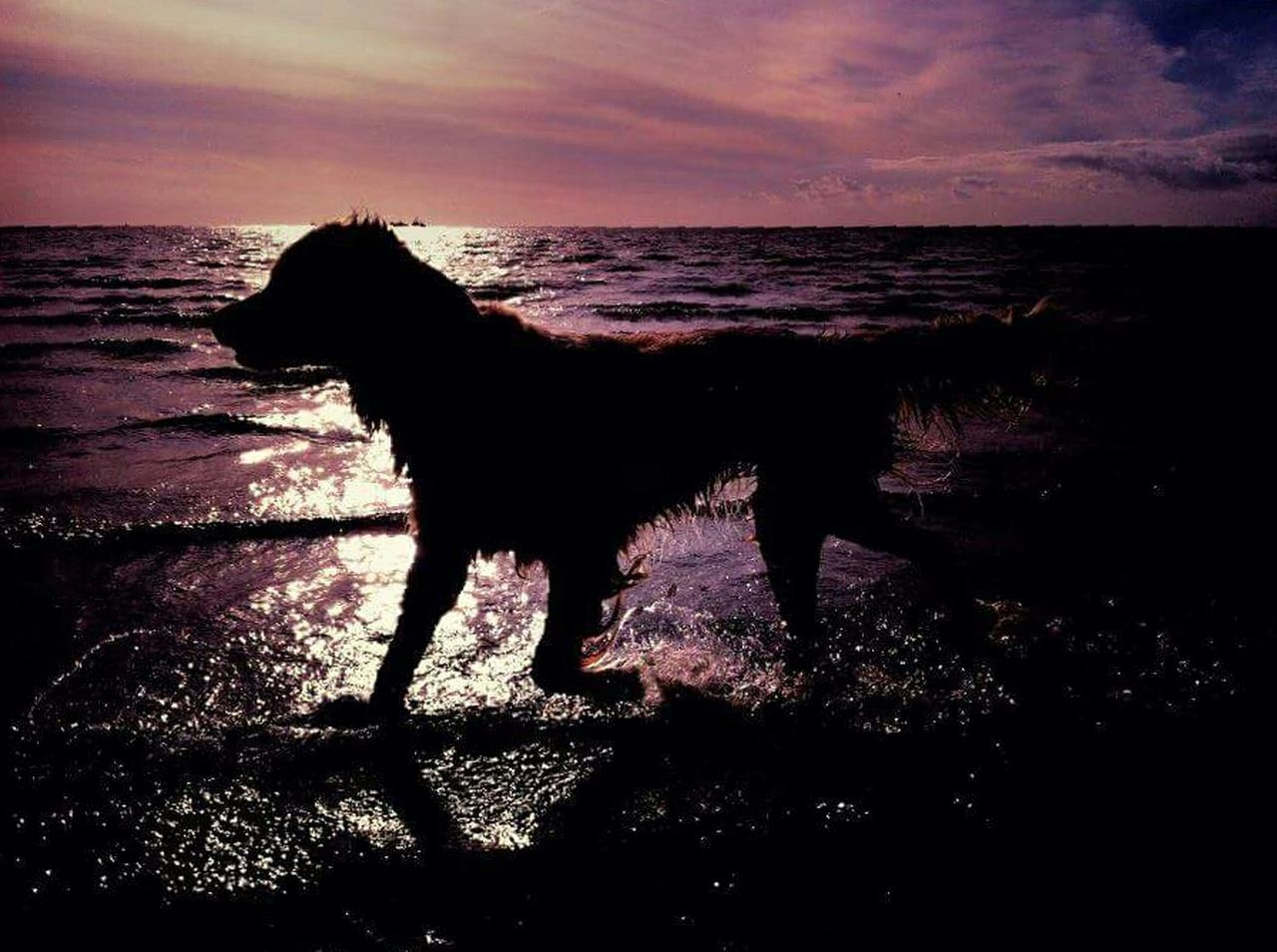 Sunset Sunset Silhouettes Sunset Silhouette Sunset Dog Walk Sunset Dogs Dog Dogs Dog Love Dog❤ Dogslife Dogs Of EyeEm Dogs Life Sweet Beach Dog On The Beach Dog Beach Dog Bath Hund Hunde Hunderunde Sonnenuntergang Goldenretriever Golden Retriever