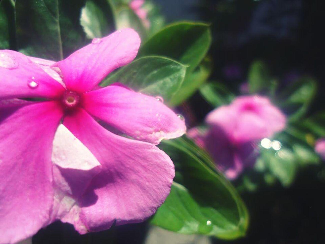 Flower.👌🌸 Nature Flower Pink Flower Likeforlike #likemyphoto #qlikemyphotos #like4like #likemypic #likeback #ilikeback #10likes #50likes #100likes #20likes #likere