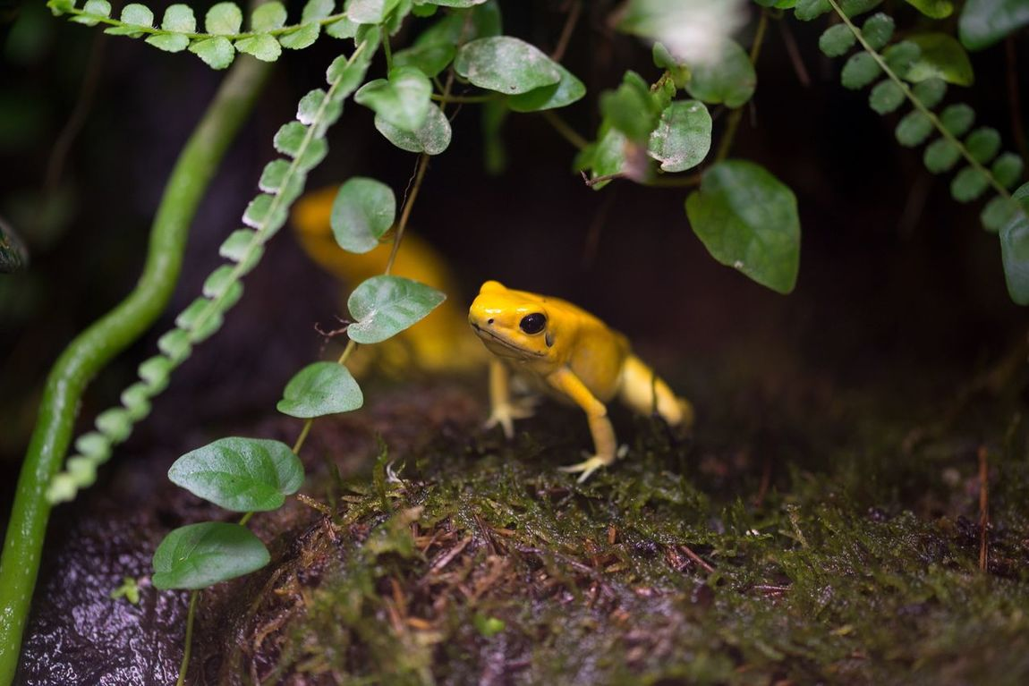 Big adventure. Frog Amphibian Terrarium Animal Sweden Nikond600 Sigma105mm