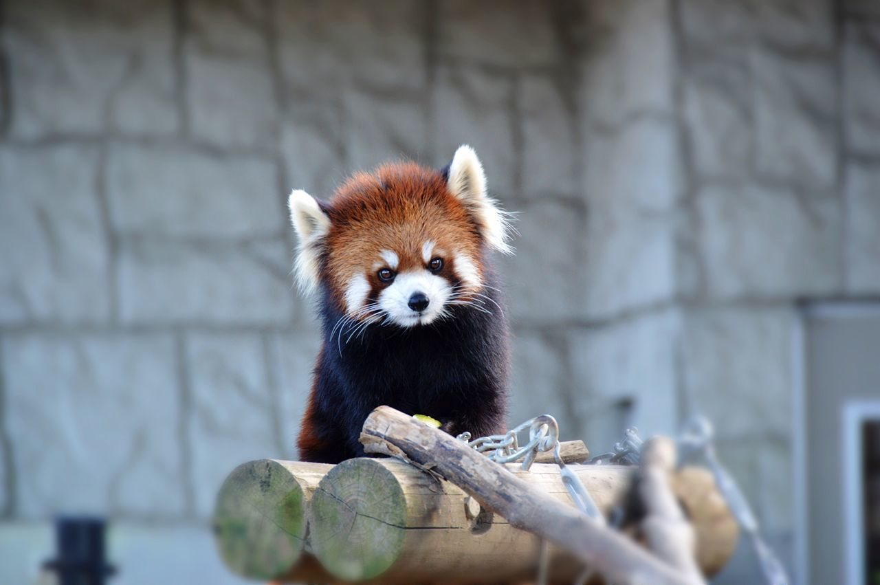 😍 One Animal Red Panda Panda - Animal Animal Themes Nature Outdoors Zoo Cute Low Angle View Wildlife Wildlife & Nature Eyeeminstagram Cute cute cute cute かわいいのー😍☺️☺️☺️