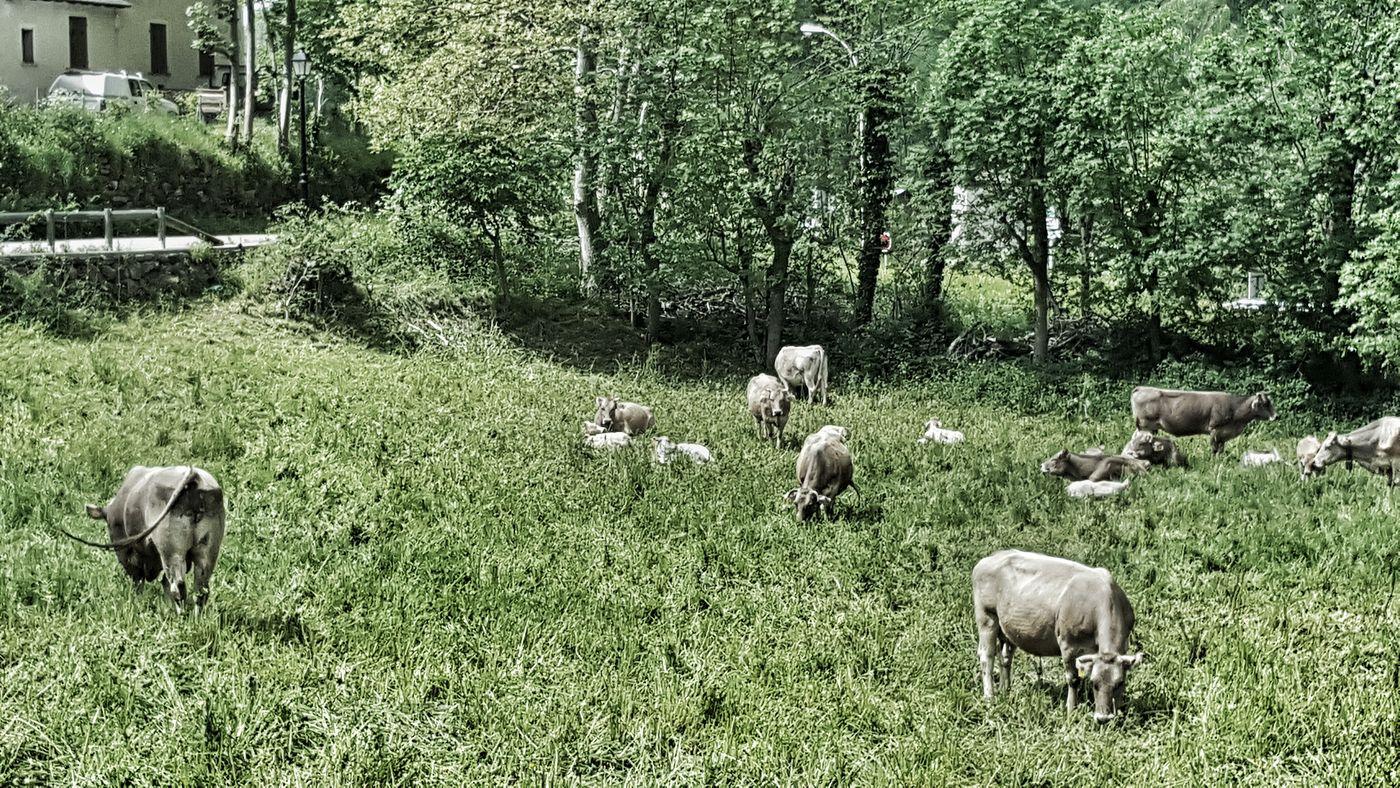 Bretui Nature Photo Vaques Cow Springtime Spring Mountain Breaktime Travel Photography Snikttt