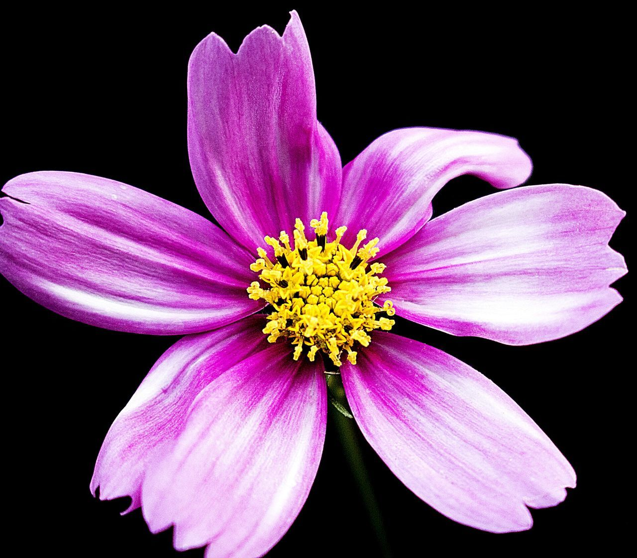 flower, petal, black background, flower head, fragility, studio shot, freshness, plant, pollen, beauty in nature, nature, purple, no people, growth, close-up, yellow, cosmos flower, stamen, blooming, outdoors, day, osteospermum