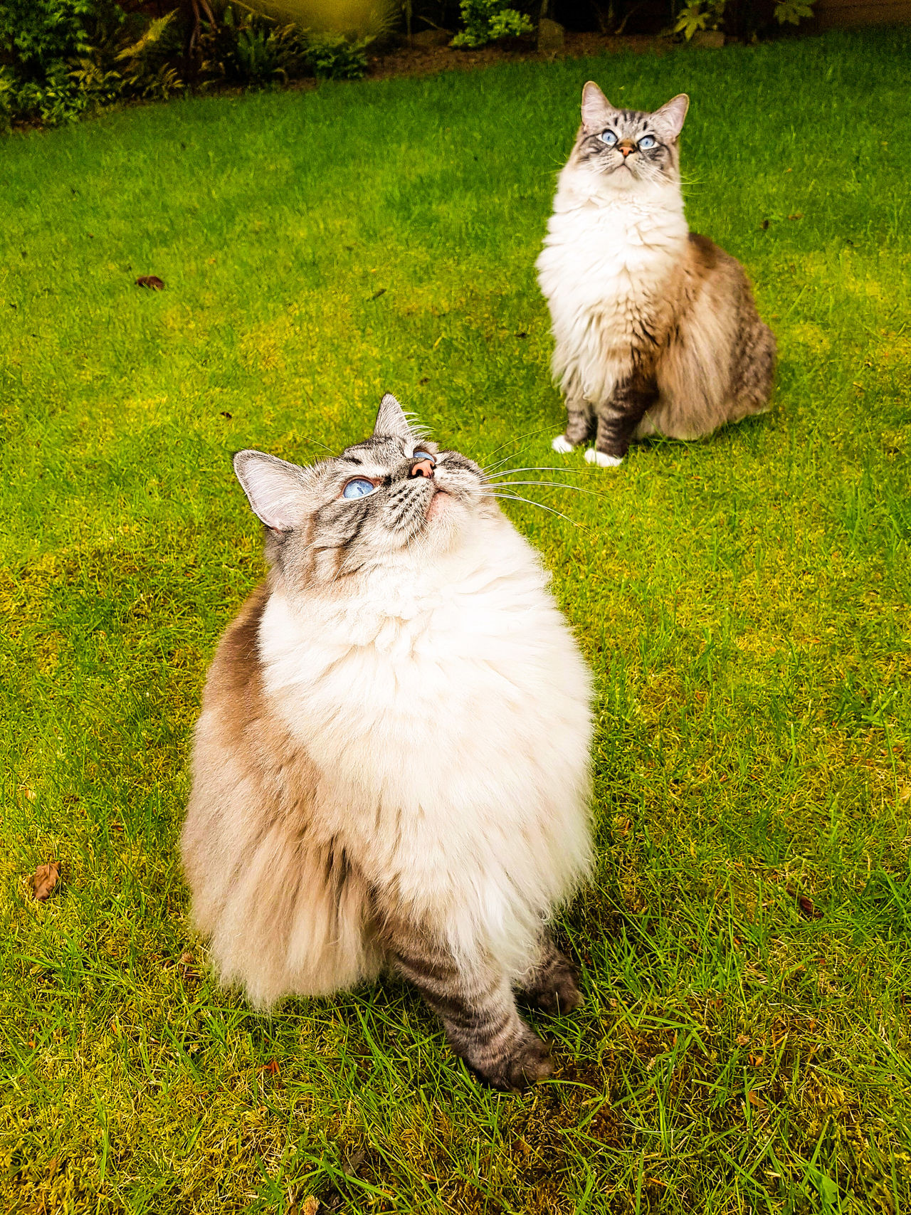 PEDIGREE RAGDOLLS BIRD WATCHING. Grass Animal Themes Mammal Domestic Animals Pets Outdoors Longhaired Cats EyeEmNewHere Samsung Galaxy S7 Edge Expression Funny Faces Bird Watching Catslife Chillin Out At Home Pedigreecats Garden Playtime Ragdoll Cat Outdoor Pictures