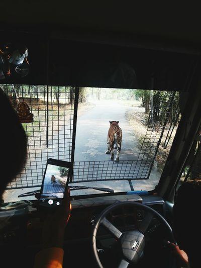 look at Tigger Animal Tigger Safari Adventure Car Window Windshield Transportation Car Interior Land Vehicle Indoors