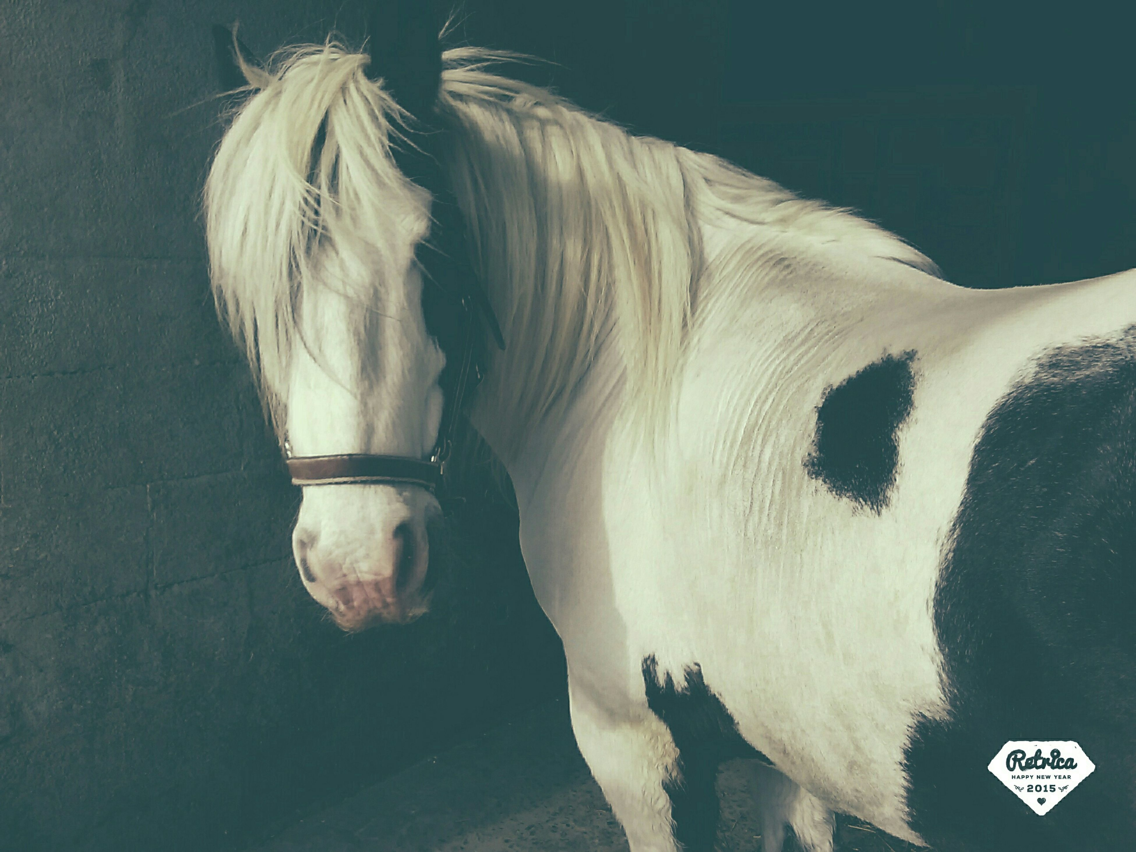 animal themes, domestic animals, mammal, one animal, horse, livestock, white color, standing, herbivorous, dog, two animals, animal head, side view, animal hair, day, close-up, outdoors, working animal, no people, animal body part