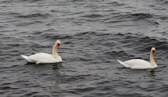Animals Baltic Sea Bird Photography Birds Birds Of EyeEm  Birds_collection Blie Eyem Birds Swan Swan Lake Swans Swansea Swimming White