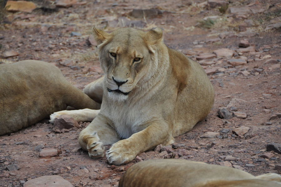 Animal Themes Animals In The Wild Aquila Game Reserve Day Female Animal Lion Lion - Feline Mammal No People Outdoors Relaxation