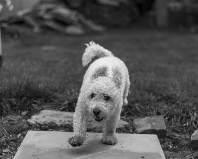Jumpy dog. Dog One Animal Animal Themes Mammal Domestic Animals Pets Focus On Foreground No People Outdoors Day Close-up Nature Happy Cute Black And White Monochrome EyeEmNewHere EyeEmNewHere