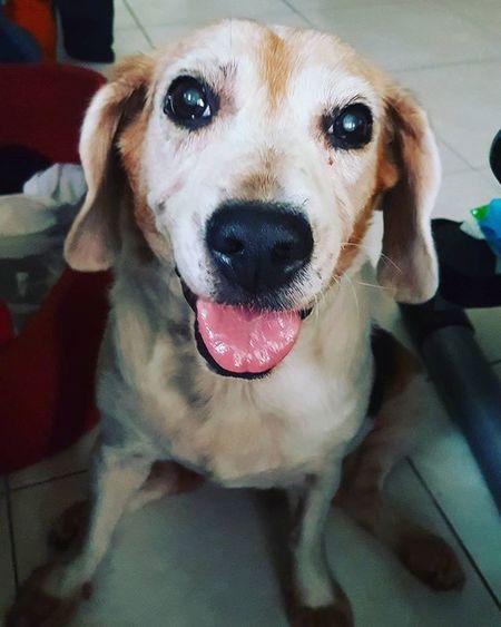 笑燦爛 Mymilinbaby Beagle