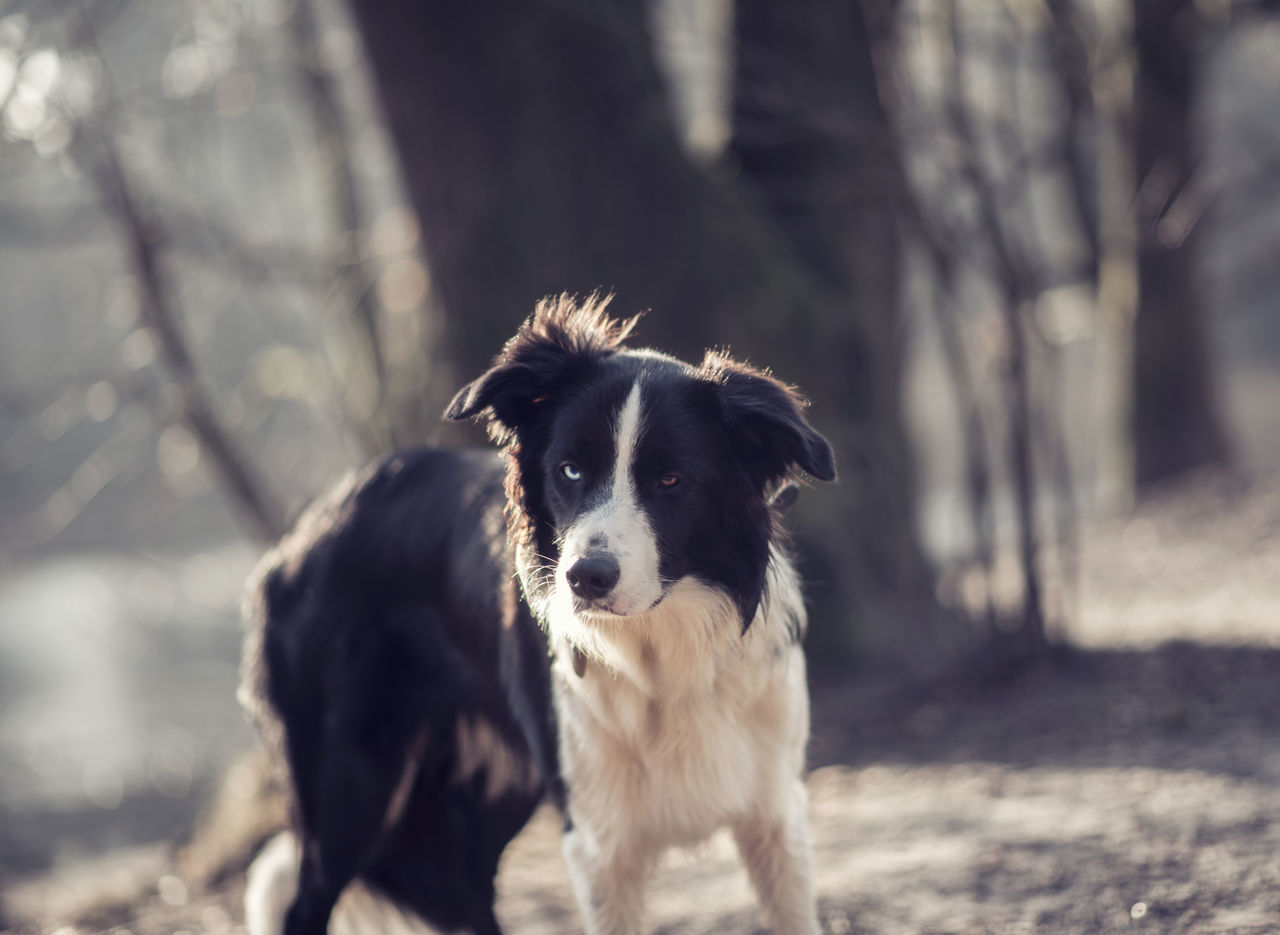 Animal Themes Border Collie Day Dog Domestic Animals Focus On Foreground Looking At Camera Mammal Nature No People One Animal Outdoors Pets Portrait Tree
